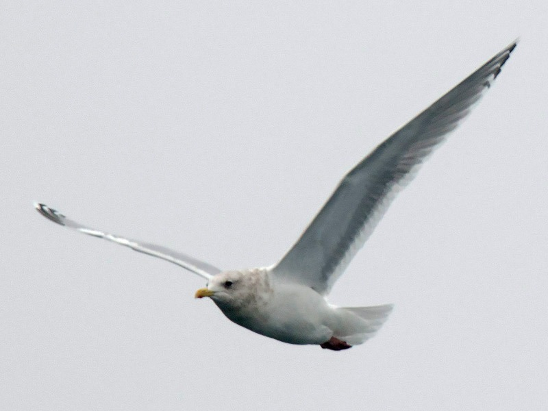Thayer_s_gull-8003596