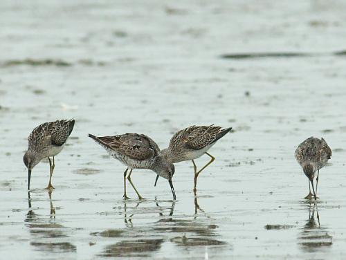 Stilt Sandpipers