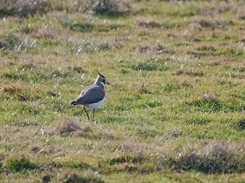 Northern_lapwing