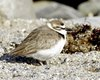 Thumb_031820_wilsons_plover__rare__3-15-2020_9-56-49_am